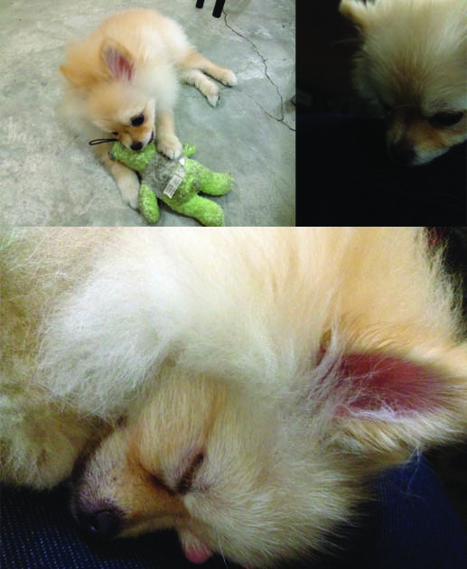 Pomeranian puppy playing and sleeping montage