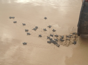 Releasing baby turtles Sumba Island Nihiwatu