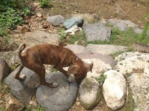 Wild dog at a Sumbanese Village